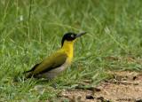 Black-headed Woodpecker -- sp 23