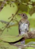 Hill Blue Flycatcher - juvenile -- 2008