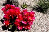 Red Cereus Cactus