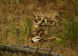 Coyote on a carcass