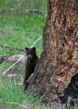 Peeking brown cub