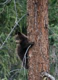 Brown cub