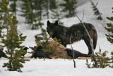 Black wolf on an elk carcass