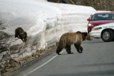Griz and cub crossing the road