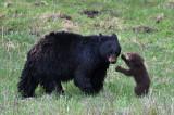 Rosie listeningto one of her cubs