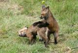 Playing fox kits