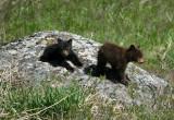 Rosie's cubs