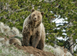 Grizzly mom and cub