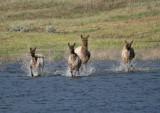 Goofy elk