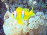 una bubble anemone amb el seu anemone fish o peix paiasso