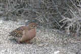 Galapagos Dove (Puerto Egas, Santiago)