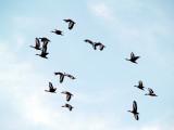Black-bellied Whistling Ducks - 5-8-08 Ensley Bottoms - Memphis TN