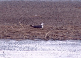 Black-necked Stilt - possible melanurus at nest.