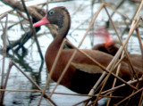 Black-bellied Whistling Duck - 7-4-08