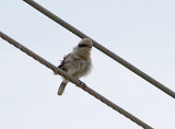 Loggerhead Shrike - fledged young -Presidents Island 7-4-08