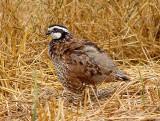 Bobwhite - male Ensley 7-5-08 -