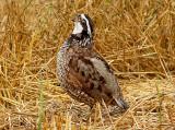 Bobwhite - male Ensley 7-5-08 -13