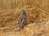 Bobwhite - male Ensley 7-5-08