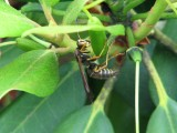 male paper wasp