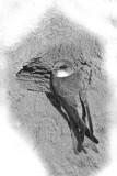 oeverzwaluw in zwart wit