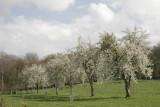 Bloesem in Limburg