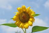 zonnebloem (Helianthus annuus)