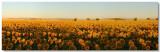 Sunflowers 2008