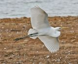 Great White Egrets Gallery