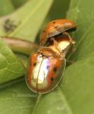 Golden Tortoise Beetles JN8 #9038
