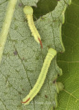 Smerinthus cerisyi 1st instar JN8 #9248