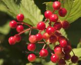 Berries AU8 #3127