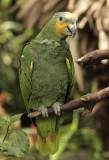 Orange-winged Amazon S8 #4787