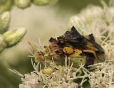 Jagged Ambush Bug AU9 #5011