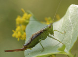 Conocephalus brevipennis S9 #7593