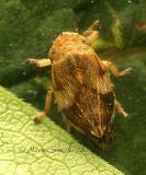 Meadow Spittlebug - Philaenus spumarius #7277