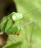 Praying Mantis #6982