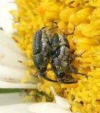 Weevils Mating #4880