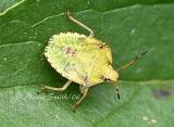 Stink Bug #7107