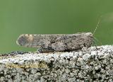 Carolina Grasshopper #6091
