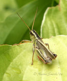 Two Striped Grasshopper #7614