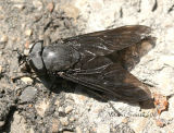 Black Horse Fly  #5281