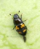 Glischrochilus fasciatus #9490