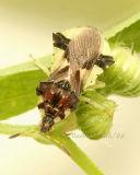 Jagged Ambush Bug #9453