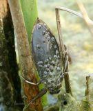 Giant Water Bug #9713