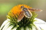 Bee Fly  #8965