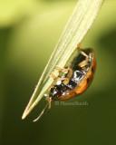 Golden Tortoise Beetle JN8 #8139