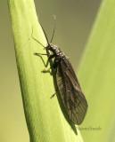 Alderfly JN8 #8093