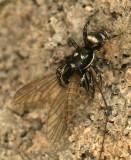Zebra Spider JN8 #8219