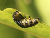 Leaf Beetle Larva JN8 #8626