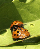 Argus Tortoise Beetle JN8 #8560